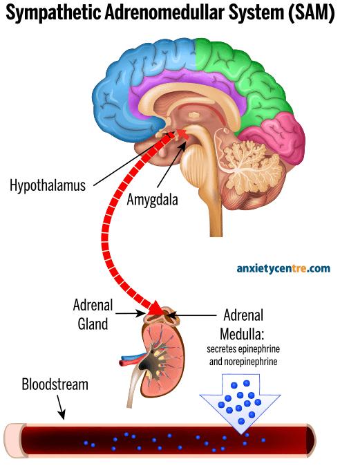 sympathetic adrenomedullar system SAM
