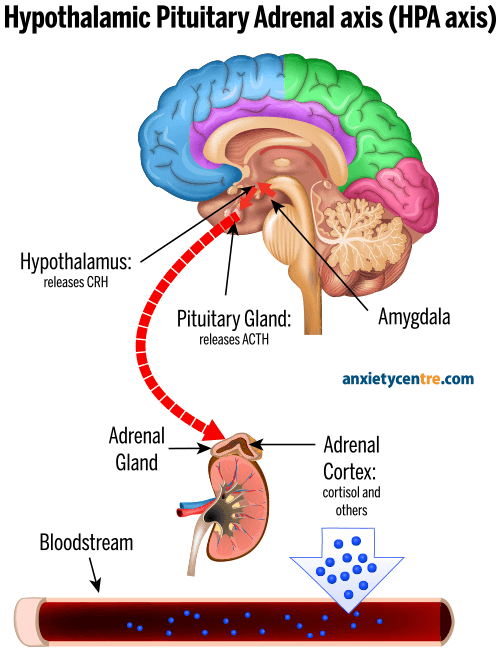 hypothalamic pituitary adrenal axis HPA axis