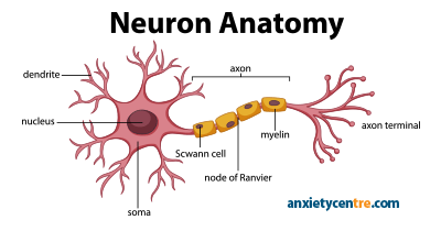 neuron anatomy image